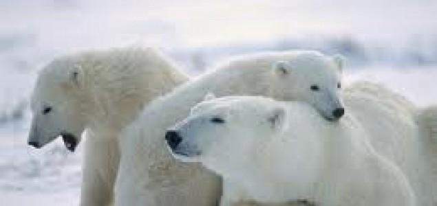Drastične mere za očuvanje belih medveda