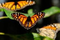 Detektiranje razloga za pad populacije leptira Monarha