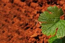 Šta sve liječi list vinove loze
