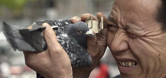 VIDEO: Doping skandal trkaćkih golubova. Šest ptica palo na testu, jedna pozitivna na kokain