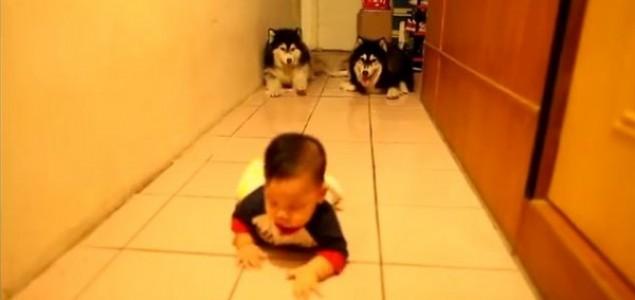 Aljaški malamuti vidjeli bebu kako puzi, pa se i oni pridružili