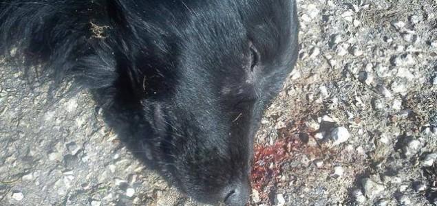 40 otrovanih pasa na ulicama Glamoča