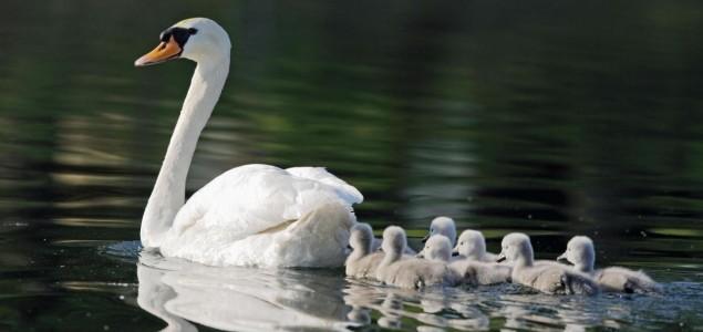 swan-635x300.jpg