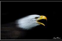 Zlatko Jelisavac: Jastrebovi i orlovi