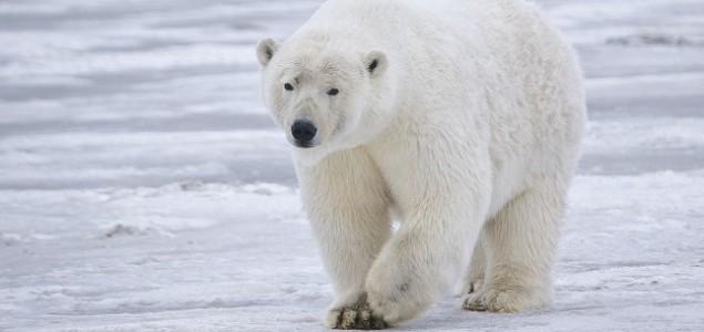 Polarni medvedi izumiru do kraja veka?