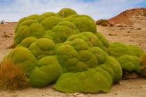Yareta: Biljka koja može biti stara i više od 3.000 godina