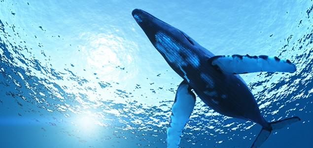 Putovanje plavog kita – najdulja migracija na svijetu