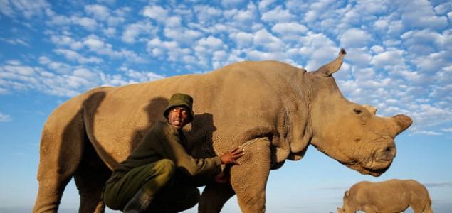 Poslednji mužjak belog nosoroga na svetu