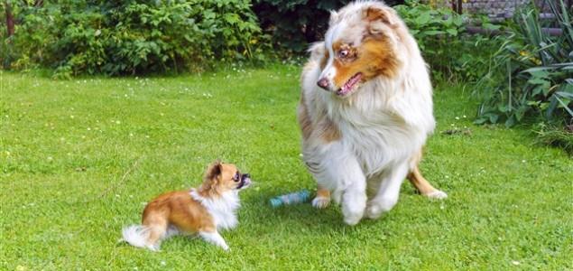 Zašto mali psi izazivaju velike pse?