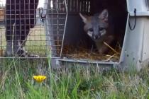 Video: Reakcije životinja puštenih na slobodu
