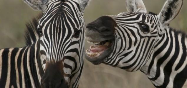Tajna pruga: Zašto su zebre crno-bele?