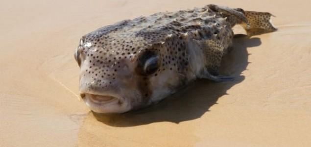 Na crnogorskom primorju ulovljena jedna od najotrovnijih riba na svetu
