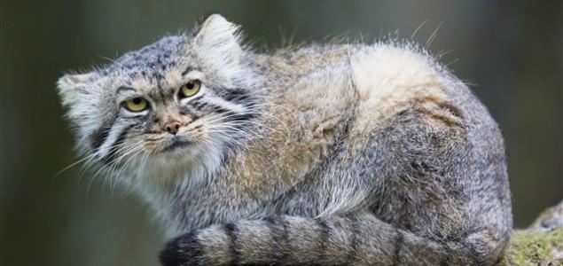 Jeste li čuli za Pallasovu mačku?