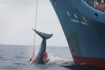 Uprkos oštrim kritikama: Japanski brodovi krenuli na Antarktik u lov na kitove