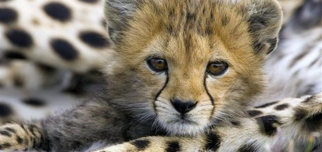 Gepardi se ne razmnožavaju zbog genetske istovrsnosti