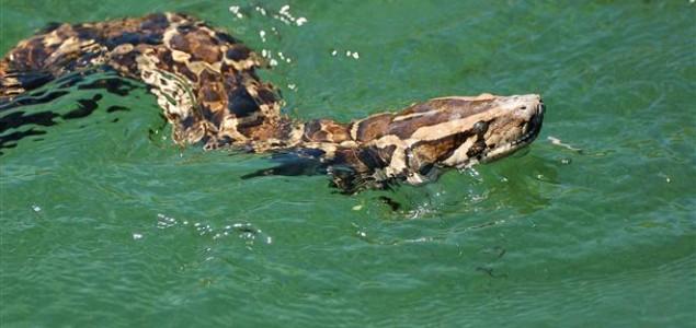 Floridski lovci uništavaju pitone u Evergladesu