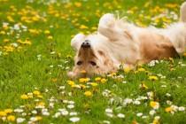 Zašto se psi valjaju po travi?