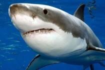 Bijele morske psine u JAR-u na rubu izumiranja