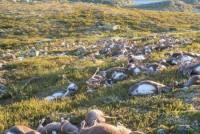 Zbog čega je ubijeno 80.000 arktičkih sobova?