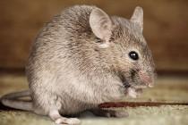 Je li miš tako jak?