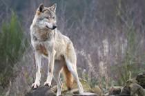 Kako su se vukovi ponovno vratili u Njemačku