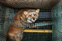 Farme sa životinjama za krzno trajno zabraniti!