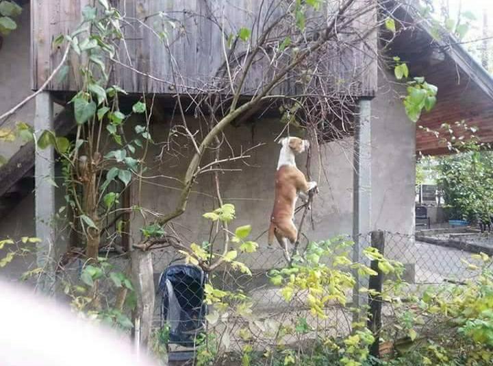 obješeni pas