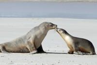 Indija odlučila zabraniti uvoz krzna i kože od tuljana