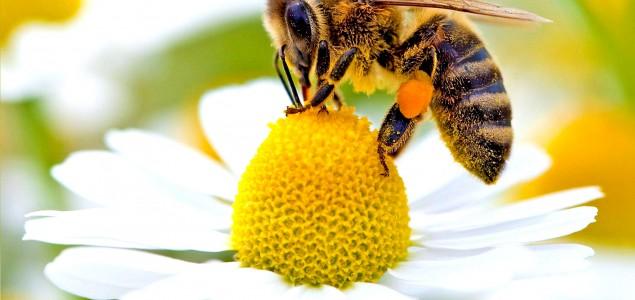 EU zabranila upotrebu pesticida štetnih za pčele