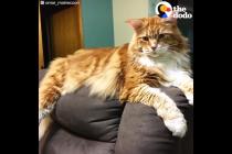 Ovo je jedan od najvećih mačaka na svijetu. Prekrasan je