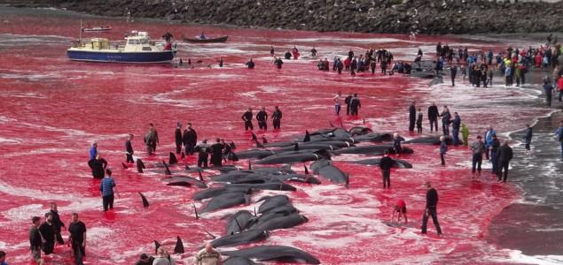 Više desetina kitova ubijeno u zalivu Farskih ostrva