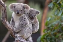 Koale bi u Australiji mogle izumrijeti do 2050.