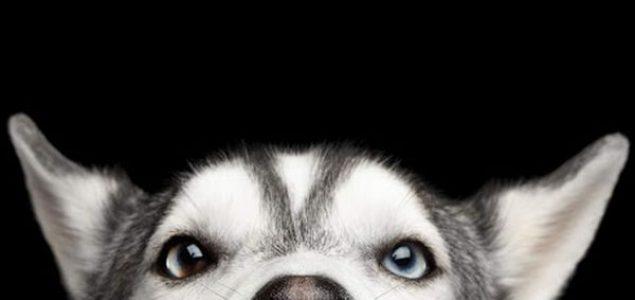Zašto sibirski haski ima prodorno plave oči?