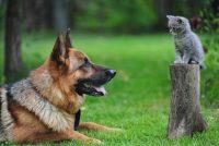 Zbog čega postoji više rasa pasa nego mačaka?