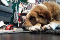 IKEA-ina prodavnica u Italiji otvorila svoja vrata napuštenim psima