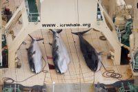 Japan počinje komercijalni lov na kitove u julu 2019.