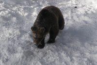 Prezentovane dosadašnje aktivnosti vezane za zaštitu smeđeg medvjeda