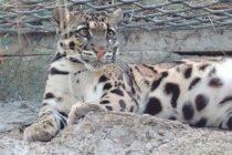"""""""Izumrli"""" leopard se pojavio nakon 30 godina"""