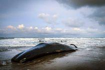 Na obali Sicilije pronađen kit pun plastike