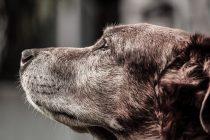 Koliko je star vaš pas? Naučite pravilno izračunati pseće godine!