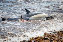 Na stotine delfina umire u Meksičkom zaljevu