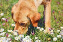 Pet nevjerojatnih stvari koje psi mogu nanjušiti