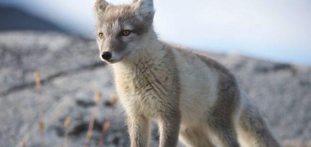 Lisica prešla put od Norveške do Kanade za 76 dana