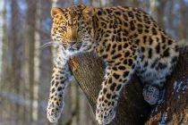 Povratak najređe mačke na svetu: Populacija sibirskog leoparda se utrostručila