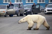 U potrazi za hranom, daleko od svog staništa: Mršavi polarni medved uočen u ruskom gradu