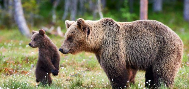 Lepe vesti: Mrki medved se vratio na Staru planinu