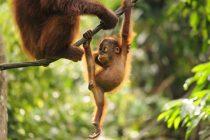 WWF upozorava: Proizvodnja palminog ulja uništava orangutane