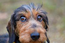 Mišići oko očiju pasa evoluirali zbog čoveka