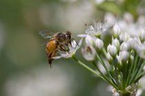 Loše vesti iz Severne Karoline: Naučnici otkrili kako pčele reaguju na visoke temperature