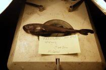 Naučnici otkrili sićušnog morskog psa koji svetli u mraku